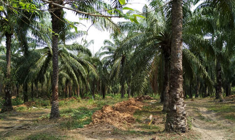 palm oil in Colombia