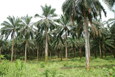 Palm oil Nigeria gorillas smallholders