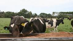 Palm kernel cattle New Zealand