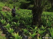 Palm oil Africa