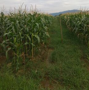 Malaysia agriculture corn Picture