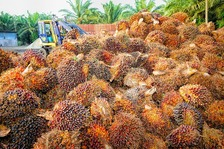 Palm oil Papua