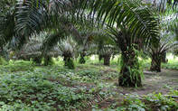 grupo HAME palm oil