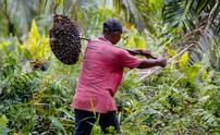 Palm oil Ethical Consumer